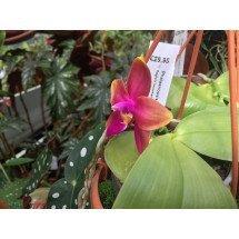 Phalaenopsis Princess Kaiulani 'Miki'