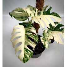 Monstera deliciosa Variegata (special good white edition)