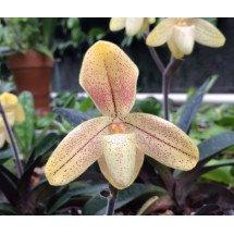Paphiopedilum concolor var. striatum