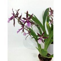 Odontoglossum bictoniense x Brassia Eternal Wind