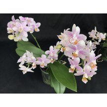 Phalaenopsis zambia fragrance