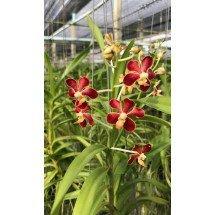 """Vanda mariae """"Big Plant"""""""