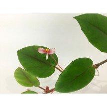 Begonia elaeagnifolia 'Big'