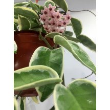 "Hoya carnosa ""Tricolor Krimson Queen outter variegated"" Big Plant"