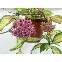 "Hoya australis tricolor ""Big plant''"