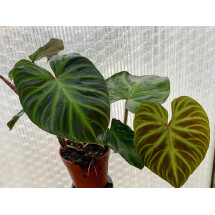 Philodendron verrucosum  ( 2 spikes )