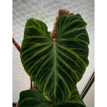 Philodendron verrucosum ''XXL Big Plant = Big leaves''
