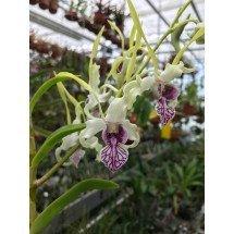 Dendrobium antennatum 4N