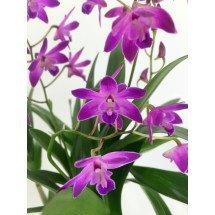 Dendrobium kingianum dark 'Big'