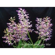 """Dendrobium Jairak Spin """"Blue"""""""