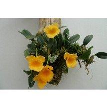 Dendrobium jenkinsii 'Big'