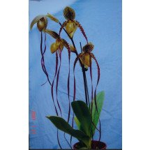 "Paphiopedilum Kemp Tower  (Prince Edward Of York x Philippinense) ""Big"""