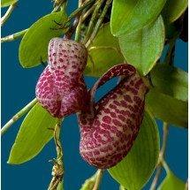 Zootrophion serpentinum