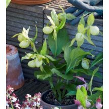 Cypripedium White Dove ''Big Plant''