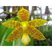 Phalaenopsis  Cornu-Cervi Var flavum x Phal amboinensis var flava
