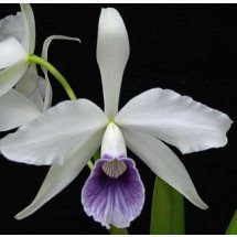 "Laelia purpurata var. werkhauseri ""Big"""