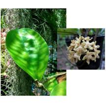 Hoya lambii