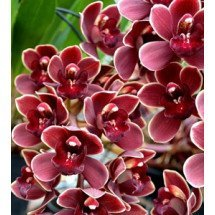 "Cymbidium Marvin Gaye ""Red Lip"""