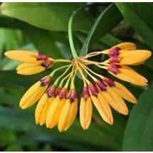 Bulbophyllum tigridum
