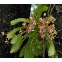 "Aerides flabellata ""Big Plant"""