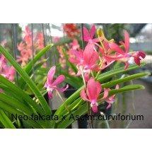 Neofinetia falcata x Asc.curvifolium