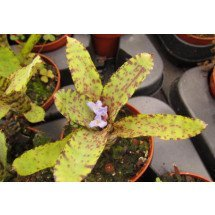 Neoregelia ampullacea x lilliputeana Green/Yellow