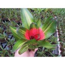 Neoregelia olens variegata