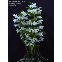 "Dendrobium nobile var. alba ""Virginalis"" ""XXL Big Plant"""