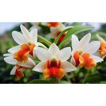 Dendrobium Jiaho Candy