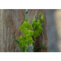"""Dendrobium minutiflorum """"Big"""""""