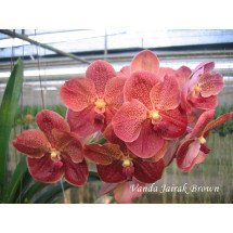 Vanda Jairak Brown 4N