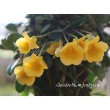 "Dendrobium jenkinsii ""Big"""