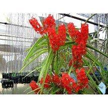 """Ascocentrum curvifolium """"Santi"""" """"Big"""""""