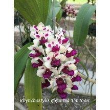 """Rhynchostylis gigantea """"Cartoon XXL plant"""""""