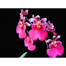 Tolumnia Jairak Rainbow 'Soft Pink'