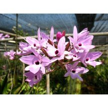 "Laelia rubescens ""Big"""
