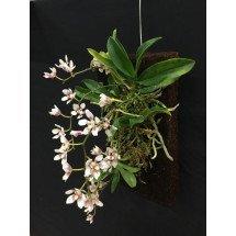 Orchideeën Boomvaren Blokken / Tree fern panels (30,5 x 15,2 x 2,5 cm)