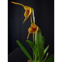 Masdevallia Orange Stripe