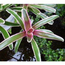 Bromelia Fireball White Stripe