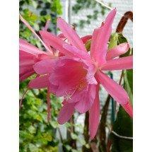 Epiphyllum cactus `Windy`