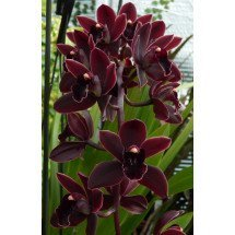 Cymbidium Cali Night `Geyserland`
