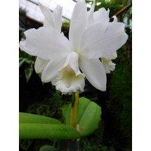 "Cattleya intermedia var. alba ""Meristeem"""