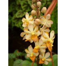 "Ascocentrum miniatum x Doritis pulcherrima var. champorensis ""White"""