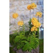 Epidendrum radicans