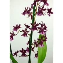 "Oncidium Sharry Baby ""Sweet Fragrance"" AM/AOS"