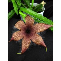"Stapelia grandiflora ""Big"""