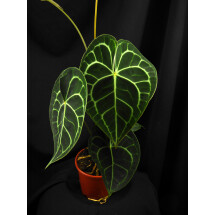 Anthurium clarinervium  ''small baby plant / 1/2  leaves  ''