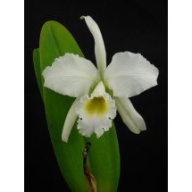 Cattleya perciviliana `Christmas Cheer`