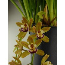 Cymbidium Sarah Jean `Yellow Ice Cascade`
