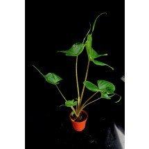 Alocasia macrorrhiza 'Stingray'